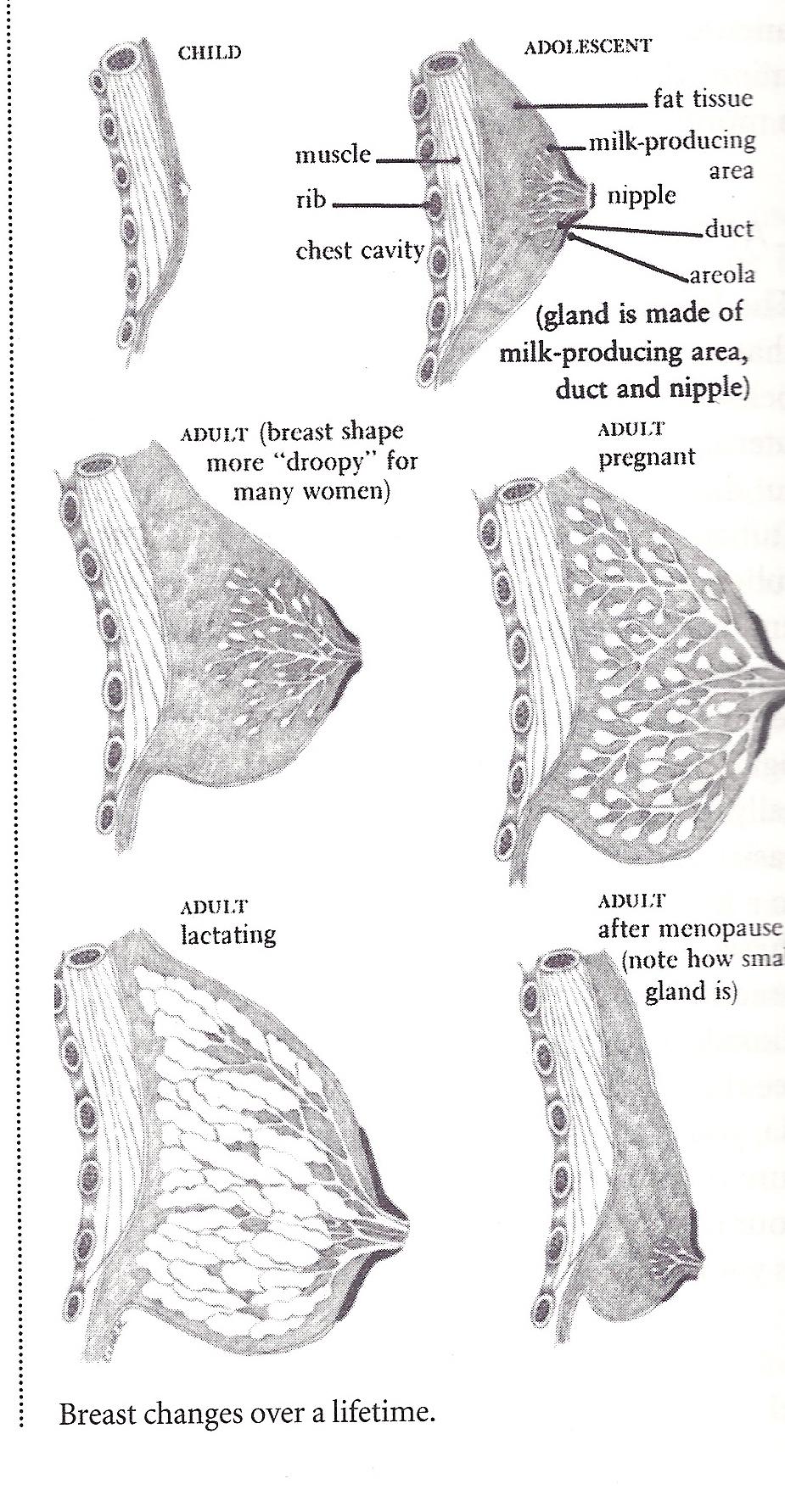 Stages Of Breast Development Porno Free Pics 105